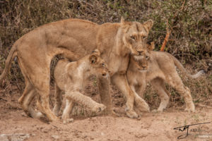Lioness and Cubs photographed on site at Naledi Game Lodge