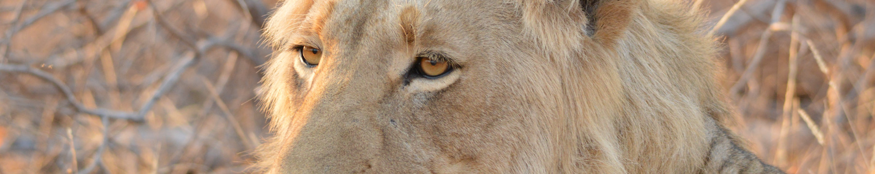 Male Lion Eyes photographed during a wildlife safari at Naledi Game Lodge
